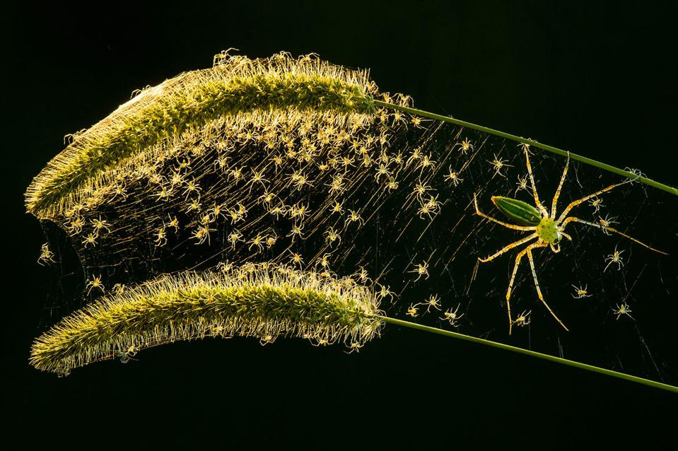 The birth of dozens of cannibal lynx spiders.