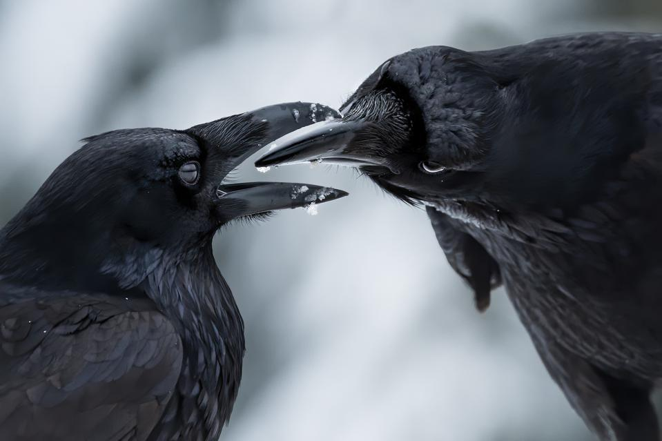 Two ravens talking to one another by inspecting their beaks.