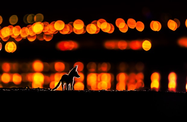 """Framed by the glow of street lights along Kuwait city. An Arabian red fox kitten exploring the night just outside its den. Arabian Red Foxes usually breed in the desert far away from human, this is a really rare case that i monitored for almost three months. I found two dens near the city of Kuwait, each den have a family of 5 kittens with their parents One den was really near the houses next to the shore of Kuwait which amazed me when i first saw them! The other den was still next to houses but in an old palm reserve! Finding breeding foxes near the city is really something unusual! Land degradation, habitat loss , human impact and overhunting in the desert plus hunting! is what made these two families decide to risk it all and breed near the city. This was taken in Kuwait city, an area near to the shore called Doha, the colorful lights are street and car light """" this is why some lights are higher than others """" and all those light were reflecting on the sea water. The rim light/backlight is two small continuous light """"hand flash lights"""" The mother catch something every night and dig a small hall and hide the food, some time its a fish """"maybe dead fish from the shore next to them"""" sometime she come with a bird! sometime with left over food from people! so once she dig and hide the food, i put those flash lights and wait for her and the cubs to come and dig the food back! and this is how i got this shot There was 5 kits with their mom I did go to the foxes den for about three months for maybe 4 days a week or so and stayed there for 3 to 5 hours just after sunset. at first i was a bit far away, lets say 20 meters from where they usually play. i didn't approach the den for two reasons, first the den was at sea level and there is no empty good place for me to photograph them. Secondly. with high tide the space gets really narrow to even stand there. i hope i can explain this right, the den is down next to the shore, but the ground level is 2 meters. Photo by Mohammad M"""