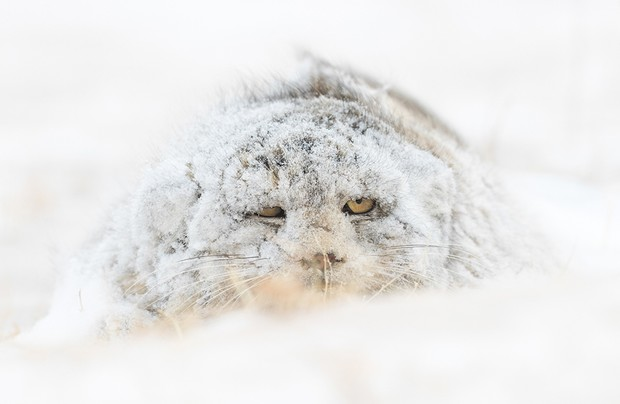 The elusive Pallas's cat. A 5 days searching in the Mongolian steppe ended with a single sighting but it was a very special one! On our last day of searching the elusive cat was found out in the open hunting in early morning when a blizzard came from nowhere and covered it with a white blanket that made it almost invisible. Photo by Amit Eshel/NatureTTL