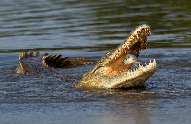 Taken in South Africa, a fish is caught in the moment it is snapped up by a crocodile. The look of surprise really made this shot stand out to me. Photo by Johan Wandrag/NatureTTL