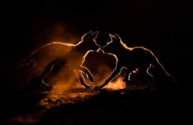 Dust Bath Bence Máté Animal Behaviour Highly Commended Wild dog pups play in the dust seen rising from the bone dry soil. I tracked them for 5 weeks, and photographed them in some fascinating situations in South Africa.